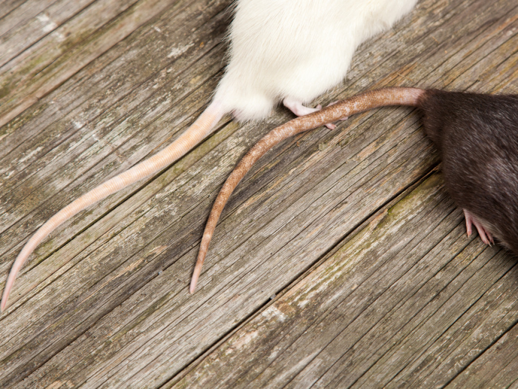 Do You Have Rats and Mice in Your Attic?